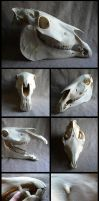 Male Haflinger Horse Skull by CabinetCuriosities