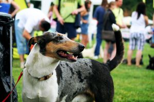 Smooth Collie by Czertice