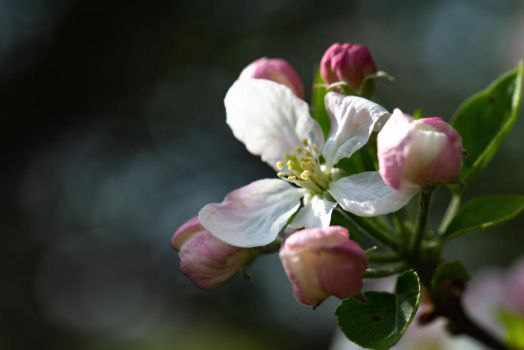 Dogwood: Spring II by Leap