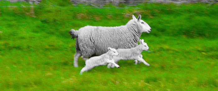 Mammy and Baba Sheep by Cora-Leigh