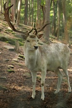 Deer Stock 36 by Malleni-Stock