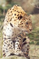 Curious Leopard. by Ravenith