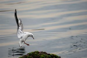 seagull_2 by sealove0699