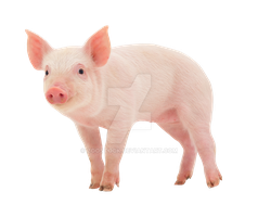 Young piglet on a transparent background. by ZOOSTOCK