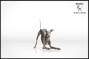 Italian Greyhound Teen by Luuucio
