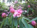 Pink - Rhododendron by Cibana