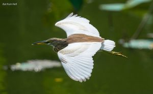 Chinese Pond Heron in flight by BatfromHell