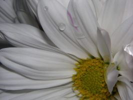 Water Drops on White Flower by ticklemeimsexy