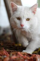 White Winter Cat by SmileyG