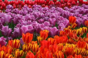 Tulips.. by cellists