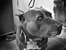 pitbull by otherlifes
