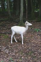 White Deer ..1 by gaothaire