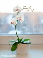 Orchid - Polymer Clay Flowers by SaisonRomantique