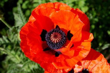 Poppies '09 by BlindedVisions