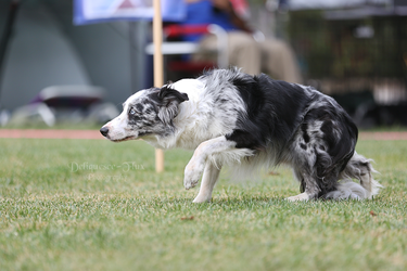 Happy Dog Agility VI by Deliquesce-Flux