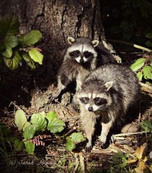 Raccoons by Lillith8810