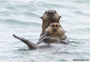 Two otters for the price of one by jaffa-tamarin