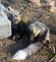 Cross fox soft mount SOLD by Tricksters-Taxidermy