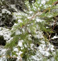 .:Bright Snowy Evergreen:. by Shadouge4eva
