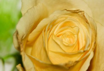 The Yellow Rose of Scotland by BusterBrownBB