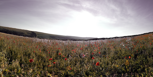 Pentire Poppies by Lite-Black