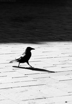 crow by MaryJ-Photography