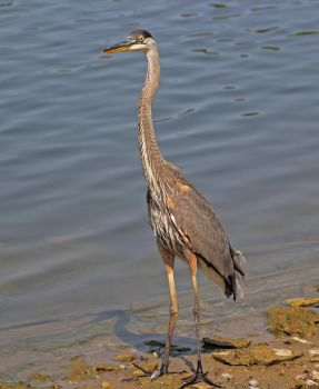A Great Blue Heron With Head Up by Merhlin