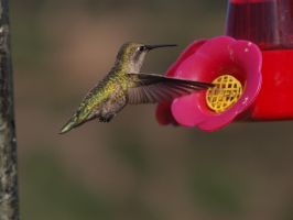 Green flash hummingbird by photographyflower