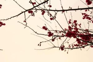 Jap cherry by Candilux