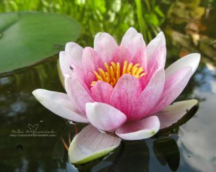 Water lilly by NelEilis