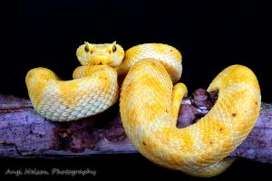 Eyelash viper on a branch by AngiWallace