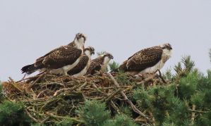 Juvenile Ospreys by NurturingNaturesGift