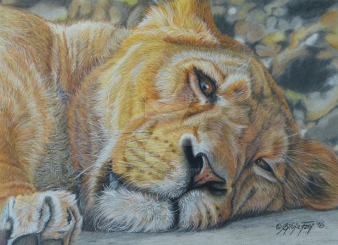 Lioness - Colored Pencil Drawing by theArtofsilviafrei