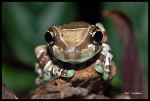 Amazon Milk Frog by Lionheart89