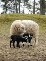 Sheep with two lambs by musicalcat
