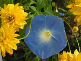 Blue Glory and yellow by JocelyneR
