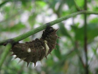 butterfly cocoon by typsy-gypsy