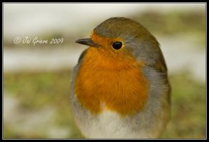 Erithacus rubecula close-up by q-118