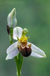 Wild Orchid -  Ophrys apifera by Mantide
