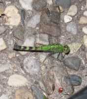 _Green Dragonfly__- by Eternalskyy