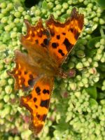 Comma Butterfly by Iris-cup