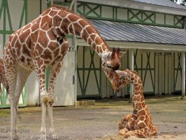 The Love of a Giraffe by Mouselemur