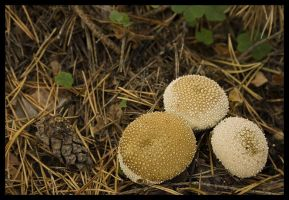 Lycoperdons by aare