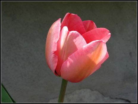 One Pink Tulip by Michies-Photographyy