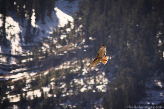 Red Tailed Hawk on the hunt at Mt Charleston by kristoff