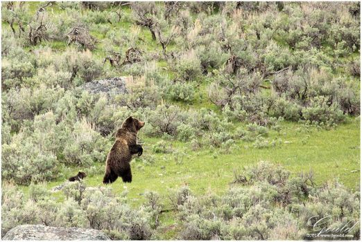 Standing Grizzly by ThisWomanWanders