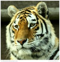 Tigress Debut by In-the-picture