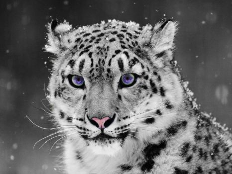Snow Leopard- ColorEyezed by ThEPaiN321
