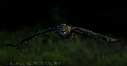 Stormy Eagle Owl-9227 by RedPangolin