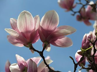 2 Magnolias by Michies-Photographyy